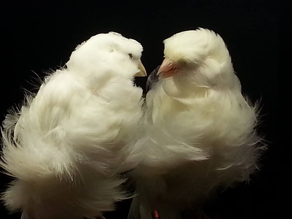 frisés couple